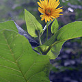Small Yellow Flower And Green Big Leaves In The Sun Light. by Oana Unciuleanu