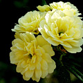 Small Yellow Roses by Johann Todesengel
