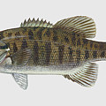 Smallmouth Bass  by Movie Poster Prints