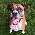 Smiling Boxer Dog by Stephanie McDowell