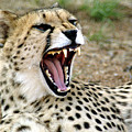 Smiling Cheetah by Charles  Ridgway