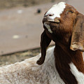 Smiling Goat  by Kate Verna Photography