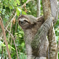Smiling Sloth by Kelly Foreman