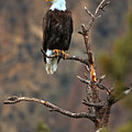 Smith Rock Bald Eagle by Adam Jewell