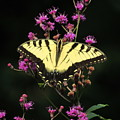 Smoky Mountain Butterfly by ART-C Jason and Mirah McCall
