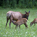 Smoky Mountain National Park Elk Cow Nursing Calf by Schwartz Nature Images