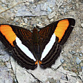 Smooth-banded Sister Butterfly Adelpha Cytherea by James Brunker