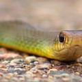Smooth Green Snake ... Montana Art Photo by GiselaSchneider MontanaArtist