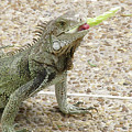 Snacking Iguana On A Concrete Walk Way by DejaVu Designs