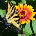 Snacking Tiger Swallowtail Butterfly by Kathy Kelly