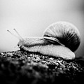 Snail Crawling On The Stone Artmif.lv by Raimond Klavins