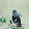 Snail Kite by Cindy Gregg