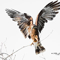 Snail Kite Exposed by Mike Fitzgerald