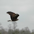 Snail Kite by Judd Nathan