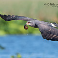 Snail Kite Returning by Mike Fitzgerald
