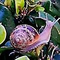 Snail On A Bush Version 2 by Kristalin Davis
