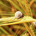 Snails On Wheat by Cathy Mayne