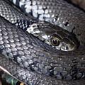 Snake by Dorothy Binder