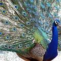 Snake Farm Peacock by Kim