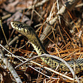 Snake by Marissa Mancini