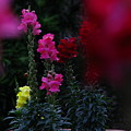 Snapdragon by Greg Patzer