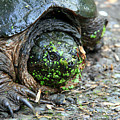 Snapping Turtle by George Jones