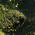 Snapping Turtle Head by Edward Peterson