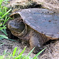 Snapping Turtle Laying Eggs by Glyn Williams