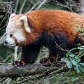 Sneaky Red Panda by Greg Nyquist