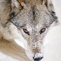 Sneaky Wolf by Athena Mckinzie