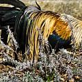 Sneeking Rooster by Douglas Barnett