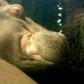 Snoozing Hippo by Don Whipple
