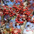 Snow Berries by Theresa Campbell