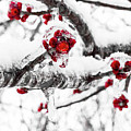 Snow Berry by DA Photography