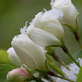 Snow Blossoms by Connie Higgins
