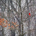 Snow Cardinal by Deborah  Crew-Johnson