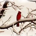 Snow Cardinal by Janet Pugh