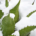 Snow Covered Agave by Phyllis Denton