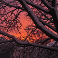 Snow Covered Branches At Sunset by Bill Driscoll