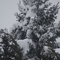Snow Covered Pine by Heather Green