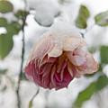 Snow-covered Rose Flower by Frank Tschakert
