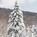 Snow Covered Spruce by Paul Borden