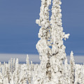 Snow Covered Spruce Trees by Tim Grams