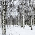 Snow Covered Trees by Amir Paz