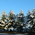 Snow Covered Trees by Arlane Crump