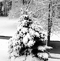 Snow Covered Trees by Kathleen Struckle
