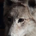 Snow Coyote by Douglas Barnett