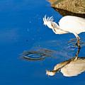 Snowy Egret 6 by Ben Graham