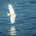 Snow Egret In Flight by Donald Pash