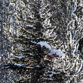 Snow Flocked Pines One by Bob Phillips